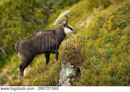 Tatra Chamois Climbing Steep Slope In Mountains In Summer Nature.