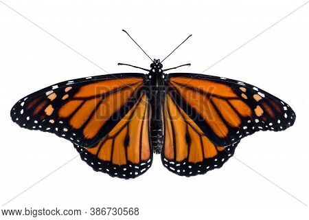 Monarch Butterfly  (danaus Plexippus) Isolation On White Background