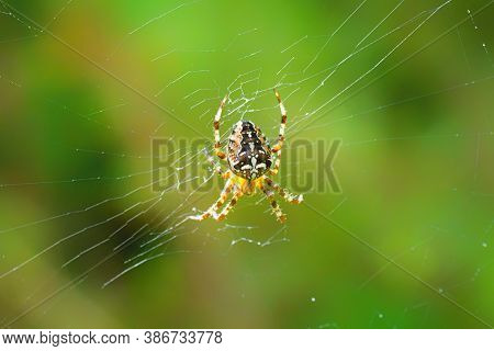 European Garden Spider Hanging In A Spiderweb On A Green Background. Insect In The Right Environment
