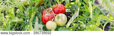 Medium Ripening Tomatoes On The Background Of The Beds. The Concept Of Ripening Autumn Fruits. Selec