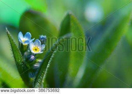 Beautiful Floral Background. Macro Shot Of A Wild Macro. Forget-me-not. Macro Shot Of A Group Of Blu