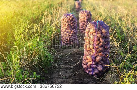 Mesh Bags With Potatoes On An Agricultural Field. Harvesting Organic Vegetables In Autumn. Farming A