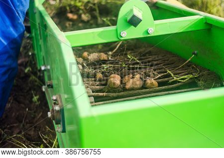 Potato Tubers Are Dug Out Of Ground Onto A Conveyor Using A Digger Machine. Harvesting Potatoes On F