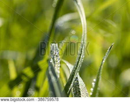 Macro Photo Of Dew Drops In The Grass With Sun Glare.
