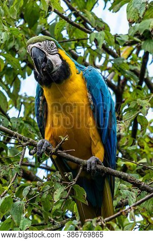 The Blue-and-yellow Macaw, Ara Ararauna Also Known As The Blue-and-gold Macaw, Is A Large South Amer