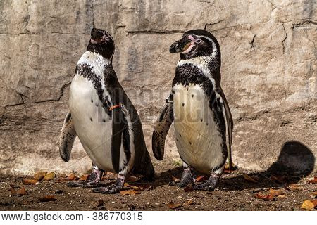 The Humboldt Penguin, Spheniscus Humboldti Also Termed Peruvian Penguin, Or Patranca Is A South Amer