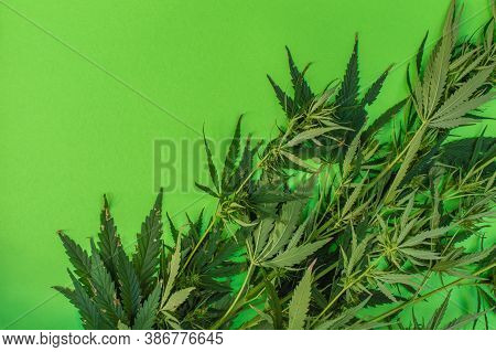 Cannabis Leaves And Buds On A Green Background, Marijuana Plant As A Therapeutic And Recreational Dr
