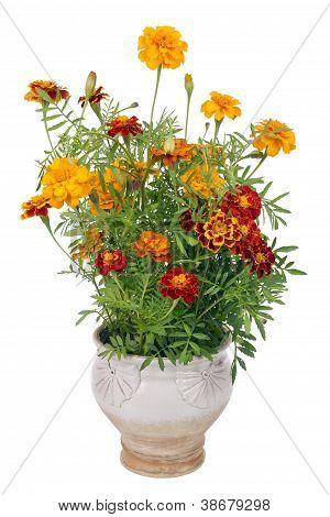 Flowers Of Saffron Bush In Pot