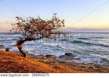 Old Crooked Tree By The Stormy Sea And Rocky Beach In The Sunset Light