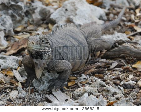 Wild Iguana of Caribbean Islands Cayo Largo del Sur Cuba poster