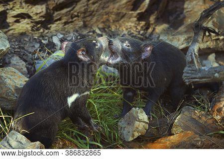 Couple Of Tasmanian Devils Communicating In Tender Fight