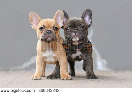 Pair Of Red Fawn And Chocolate Brindle Colored French Bulldog Dog Puppies With 7 Weeks Standing In F