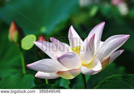 Lotus Flower Close-up,beautiful White With Pink Lotus Flower Blooming In The Pond In Summer