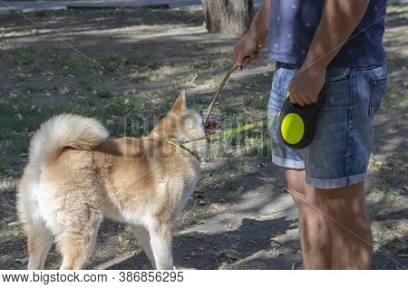 5 Month Old Japanese Akita Inu Puppy For A Walk In The Dog Park. A Funny Puppy Gnaws A Branch From T