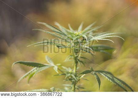 Marijuana Grows On The Street. Plant Containing Alkaloids. Cannabis Leaf.