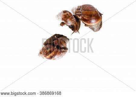 Three Snails On A White Background. Quality Isolated Snails. Top View Of Photo Has Empty Space For T