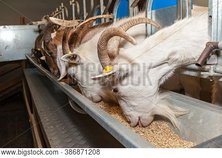 A Corral For Cows In An Eco-farm. Eco Farm For The Production Of Dairy Products Milk, Cheese, Cottag