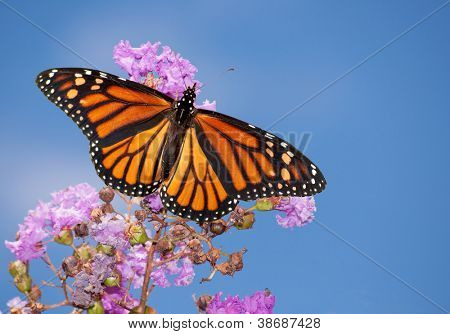 Beautiful Monarch butterfly on a purple Crape Myrtle against blue summer sky