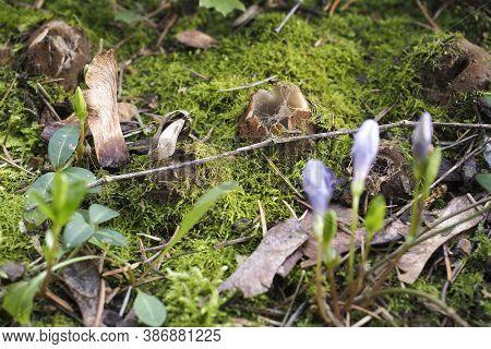 The Cedar Cup (geopora Sumneriana) Is A Mushroom