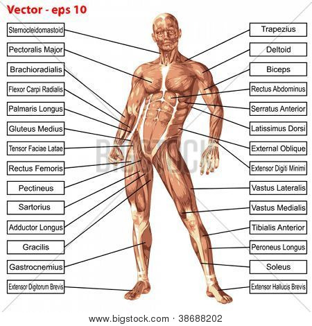 Vector eps concept or conceptual 3D human anatomy and muscle isolated on white background as a metaphor to body,tendon,spine,fit,builder,strong,biological,skinless,shape,posture,health or medical