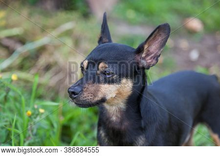 Close-up Of A Black And Brown Toy Terrier Dog On A Background Of Green Grass Looking Into The Distan