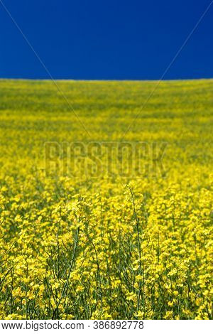 Blooming Yellow Canola Field With Deep Blue Sky In Summer, In Palouse, Washington, Usa - Close Up