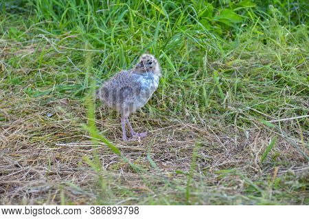 Gull Chick In The Grass, Gull Chick Close Up