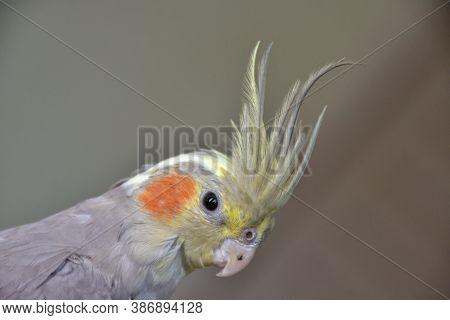 Portrait Of Parrot Cockatiel, Cockatiel Close-up, Home Parrot
