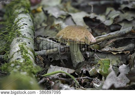 The Hazel Bolete (leccinum Pseudoscabrum) Is An Edible Mushroom , Stacked Macro Photo