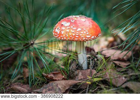Amanita Muscari. Toxic And Hallucinogen Beautiful Red-headed Mushroom Fly Agaric In Grass On Autumn