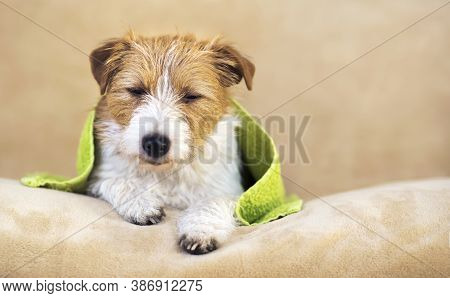 Lazy Sleepy Cute Jack Russell Terrier Dog After A Shower In A Green Towel, Pet Grooming Concept With