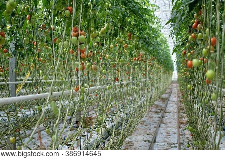 Growing Tomatoes In A Hydroponic Greenhouse With Natural Light. Green Tomato Leaves With Growing Fru