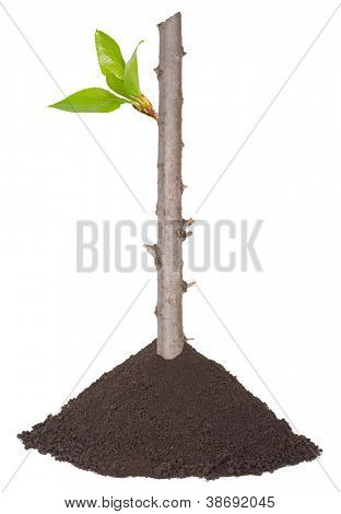 Dry branch with buds in a pile of soil