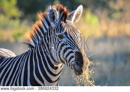 Black And White African Zebra Eating Grass In The Wild In The African Bush. Okavango, Botswana, Afri