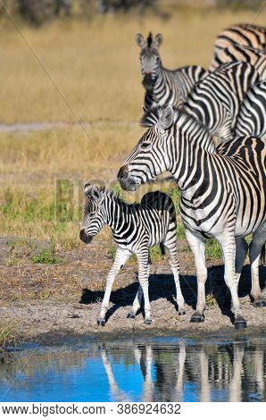Black And White African Zebras In The Wild In The African Bush. Mother And Baby Zebras. Okavango, Bo
