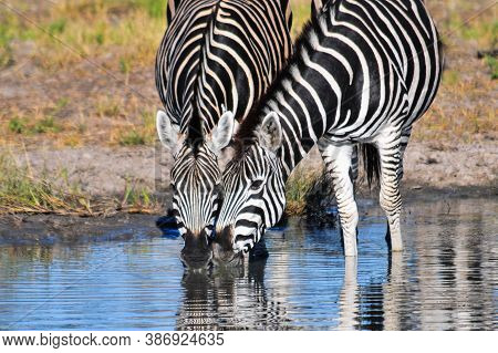 Two Black And White African Zebras In African Bush Drinking Water.  Okavango, Botswana, Africa Safar