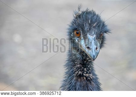 The Emu (dromaius Novaehollandiae) Is The Second-largest Living Bird By Height, After Its Ratite Rel
