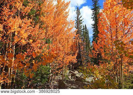 Bright Aspen trees in coniferous forest