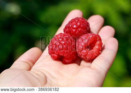 Beautiful Ripe Raspberries On The Palm Close Up