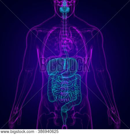 Human Digestive System Anatomy For Medical Concept 3D