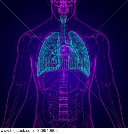 Lungs Human Respiratory System Anatomy For Medical Concept 3D