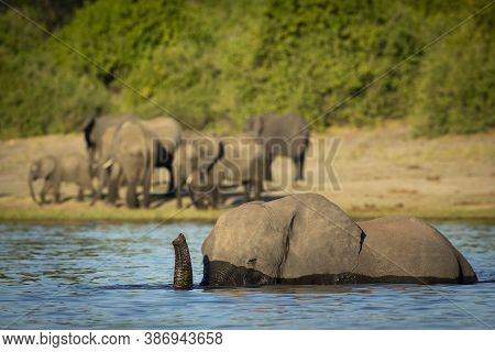 Elephant Swimming With The Rest Of The Herd Walking Along The River In Chobe In Botswana