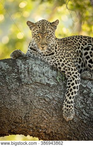 Vertical Portrait Of A Leopard Lying In Tree In Kruger Park In South Africa