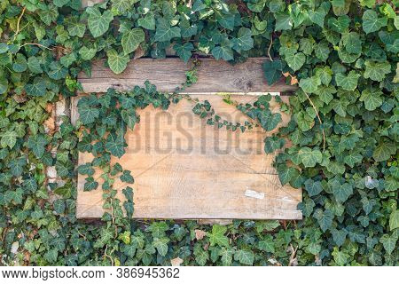 Wooden Old Board In A Ivy Thickets