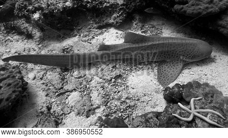 Underwater Photo Of A Leopard Shark. From A Scuba Dive At Phi Phi Islands In The Andaman Sea In Thai