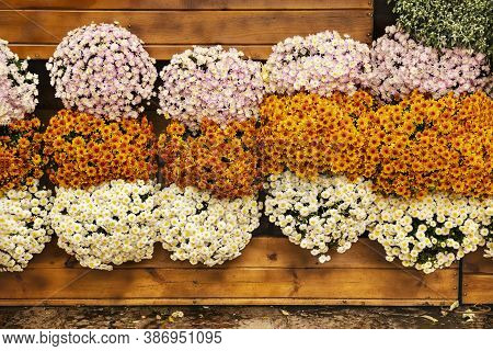 Autumn Chrysanthemum Festival. Vertical Gardening Of A Wooden Wall With Chrysanthemums. Composition