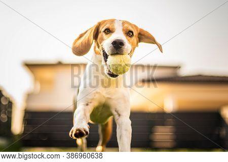 Beagle Dog On A Grass Running Through Garden Towards Camera. Dog Background.
