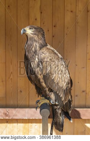 Young Eagle Sitting On A Perch. He Is Tied Up - Falconry-led. In The Background Is A Brown Wooden Wa