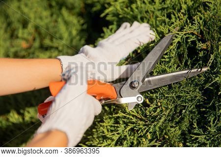 Gardener Woman Worker Trimming Bushes And Shrubs With Steel Hedge Shears In Garden Tidy Tree