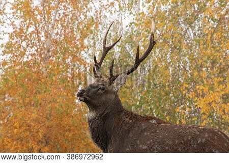Portrait Of Adorable Adult Spotted Deer With Sprawling Antlers   On Blurred Yellow - Green Birch Tre